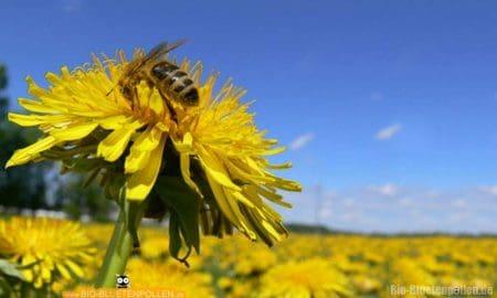 Eine Biene sammelt Nektar und Pollen