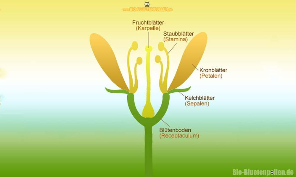 Das Schema einer Blüte | Blütenpollen