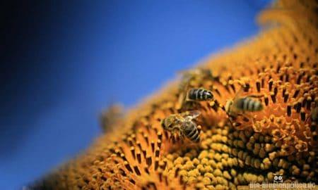 _0001s_0050_spurbienen-haben-nektarquelle-gefunden1