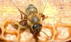 caucasus-bees02_new
