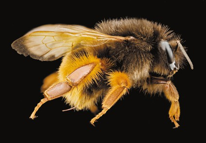 bienen103_72dpi_bombus-eximius_c_united-states-geological-survey