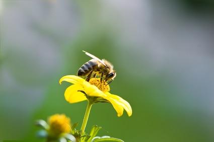 Bienen lieben Blütenpollen