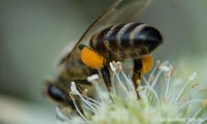 Die Neurobiologie der Bienen