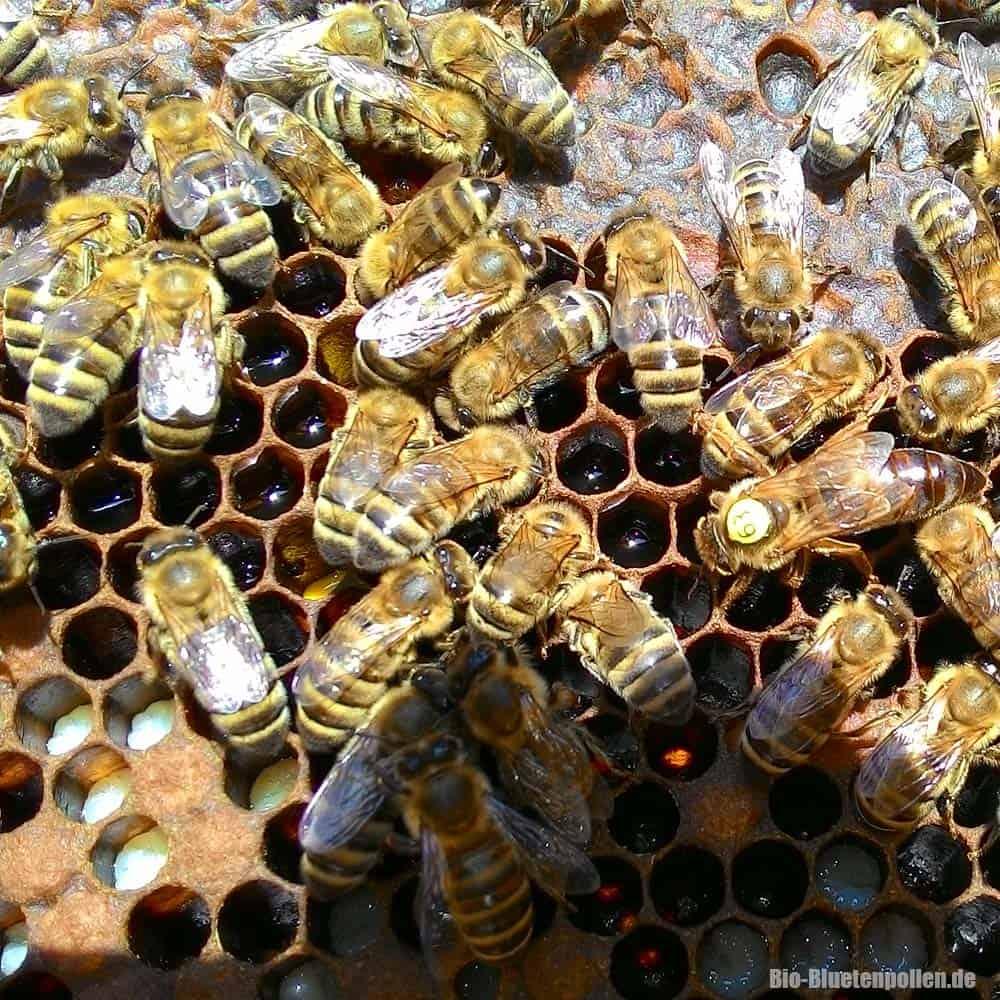 caucasus-bees01